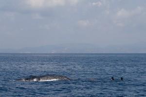 Un cachalot pris dans des filets de pêche au large de la Corse