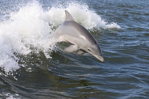 Dauphins au large de Bandol